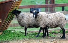 Free Sheeps Are Feeding Royalty Free Stock Photo - 8669895