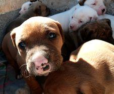 Free Takishi X Nina Puppies Royalty Free Stock Photography - 86686267