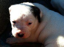 Free Takishi X Nina Puppies Stock Photos - 86686273