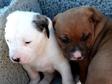 Free Takishi X Nina Puppies Royalty Free Stock Photography - 86686667