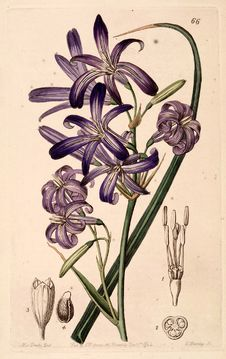 Free Lavender Mountain Lily, Lily-of-the-Altai &x28;1844&x29; Stock Images - 86687184