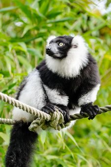 Free Black And White Ruffed Lemur Royalty Free Stock Photos - 86688298