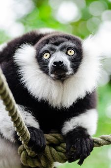Free Black And White Ruffed Lemur Stock Images - 86688364