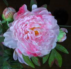Free Pink-and-white Camellia 2 Stock Photo - 86688500
