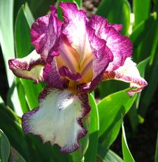 Free Magenta And White Bearded Iris Stock Photography - 86688512