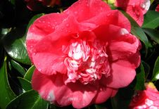 Free Pink-and-white Camellia 1 Stock Image - 86688571