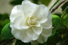 Free White Camellia Stock Photo - 86688600