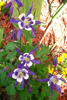 Free Colorado Columbines Royalty Free Stock Image - 86689446