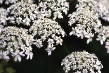 Free White Clustered Flowers Stock Image - 86689731
