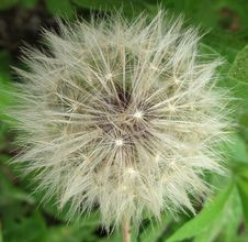 Free Dandelion Fluff Royalty Free Stock Image - 86689946