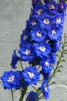 Free Blue-and-white Delphinium 2 Royalty Free Stock Photography - 86690087