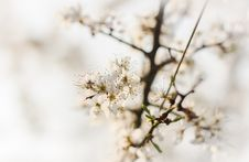 Free Blackthorn Blossom Royalty Free Stock Images - 86690239