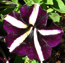 Free Purple And White Pinwheel Petunia Stock Image - 86690491