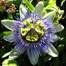 Free Blue-and-white Passionflower Stock Photography - 86690652