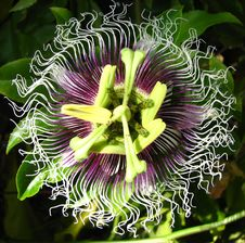 Free Passionflower Center Royalty Free Stock Photos - 86690668