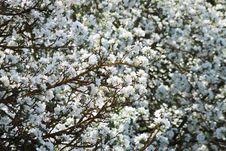 Free Cherry Plum Bloom Stock Images - 86690684