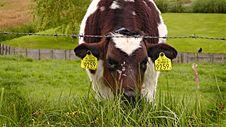 Free FUJI BEW ORIG 2. - Digionbew 8. June 12-06-16 - Calf At Fence LOW RES S1440351 Stock Images - 86690784