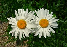 Free PUBLIC DOMAIN DEDICATION - Pixabay - Digionbe 11. 04-07-16 Ox Eye Daisies At Frankendael LOW RES DSC04247 Royalty Free Stock Images - 86690819