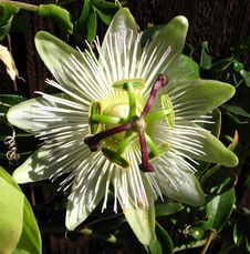 Free Green-and-white Passionflower Stock Image - 86690861