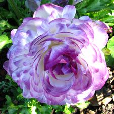 Free Violet-and-white Ranunculus Royalty Free Stock Photography - 86690877
