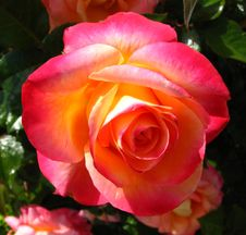 Free Pink-orange-yellow Rose Stock Photo - 86691000