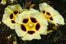 Free Red-yellow-cream Flowers Royalty Free Stock Images - 86691139
