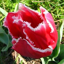 Free Red-and-white Fringed Tulip Stock Photography - 86691342
