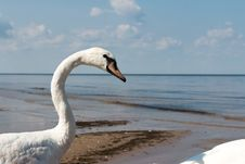 Free Swan Royalty Free Stock Photography - 86691447