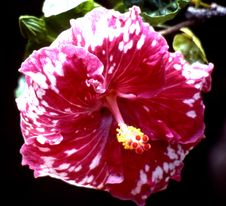 Free Red-and-white Hibiscus Stock Image - 86691781