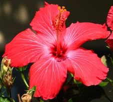 Free Red Hibiscus Royalty Free Stock Photo - 86691805