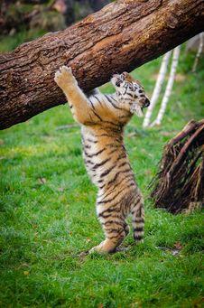 Free Siberian Tiger Cub Royalty Free Stock Photos - 86691968