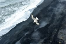 Free Iceland Seagull Stock Photography - 86692292