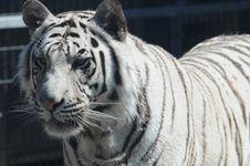 Free Royal White Bengal Tiger 11 Stock Images - 86692724