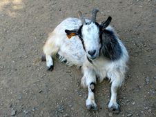 Free Silly Dwarf Goat Stock Photos - 86692823