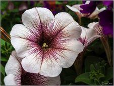 Free Petunia Stock Image - 86693401