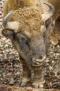 Free Bison 4 Royalty Free Stock Photos - 8674288
