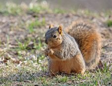 Free Squirrel Royalty Free Stock Photos - 8670418