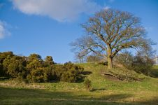 Free English Countryside - A Oak Tree On Small Hill Royalty Free Stock Photos - 8671198