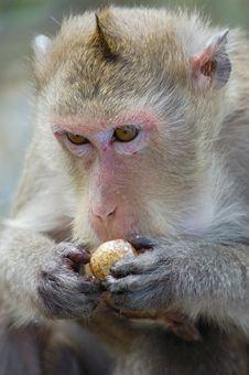 Free A Gibbon Eating Fruit Royalty Free Stock Image - 8674176