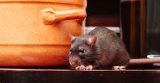 Free Rat In Kitchen Royalty Free Stock Photo - 8675085