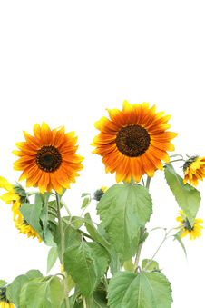 Free Sunflowers. Stock Images - 8676454