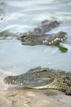 Free Salt Water Crocodile Stock Photos - 8677333