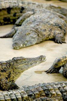 Free Salt Water Crocodile Royalty Free Stock Image - 8677396