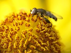 Free Fly Collecting Pollen On Flower Royalty Free Stock Images - 8678439