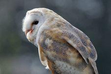 Free Barn Owl Stock Image - 8678561