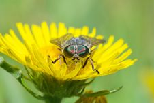 Free Gadfly On Dandelion Stock Photography - 8678882