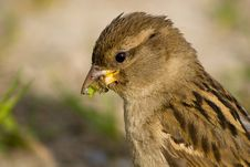 Free House Sparrow (Passer Domesticus) Royalty Free Stock Photography - 8679567