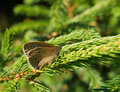 Free Ringlet Butterfly Royalty Free Stock Image - 8685346