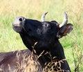 Free Portrait Of Cow Stock Photos - 8688393