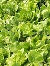 Free Fresh Ettuce Stock Images - 8688654